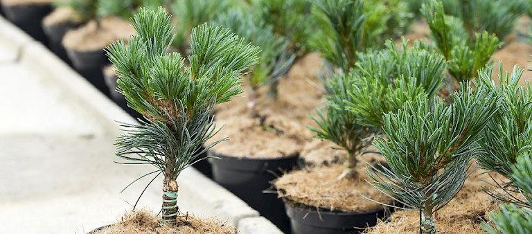 young plants of Jens Meyer, Pinus grafting